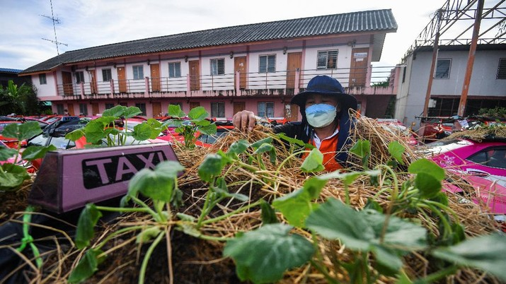 A worker plants vegetables on a roof of unused taxi due to the business crisis caused by the coronavirus disease (COVID-19) pandemic at a taxi garage in Bangkok, Thailand, September 16, 2021. Picture taken September 16, 2021. REUTERS/Chalinee Thirasupa