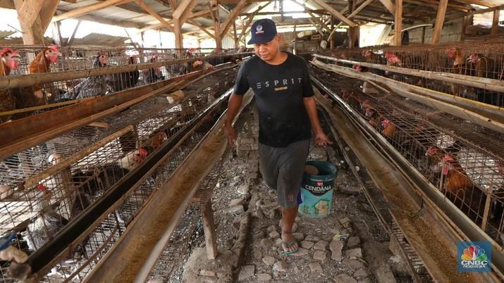 Madali (52) memberi pakan ayam petelur di kawasan Tangerang Selatan, Selasa (12/10/2021). Peternak ayam petelur terus mengeluh dari harga Rp. 23.000/kg menjadi Rp. 18.000/kg, mereka mengeluarkan penurunan harga tidak sesuai dengan biaya pakan. Madali memiliki 800 ekor ayam negeri dan 800 ekor ayam kampung. Berdasarkan catatan Pusat Informasi Harga Pangan Strategis, rata-rata harga telur ayam ras segar secara nasional pada 8 Oktober 2021 adalah Rp.23.000/kg tutun 2,52% dibandingkan posisi sebulan sebelumnya.    (CNBC Indonesia/ Tri Susilo)