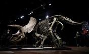 Intip Kerangka Dinosaurus Triceratops Terjual Rp 109 Miliar
